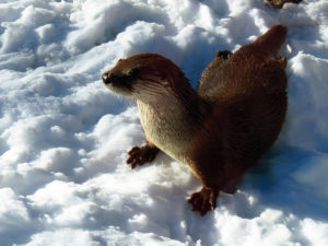 River otter in winter. Photoc credit: https://www.flickr.com/photos/blueridgekitties/