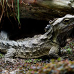 World's Coolest Reptile?